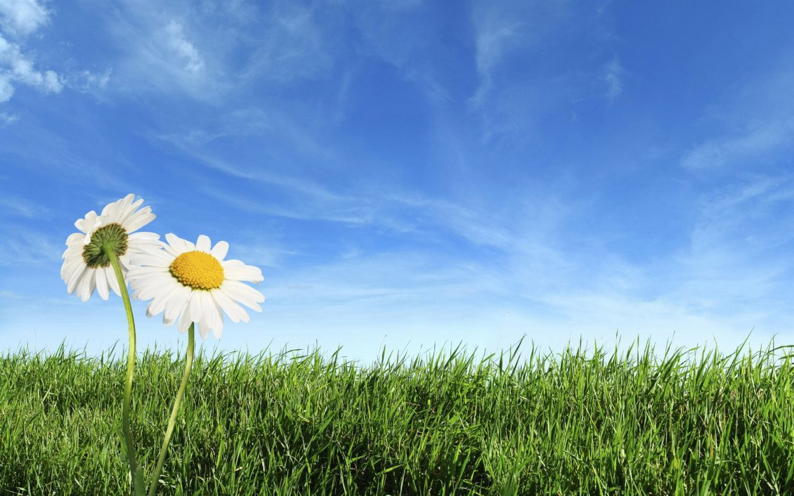 Download Wallpaper Daisies in the green grass - beautiful summer time