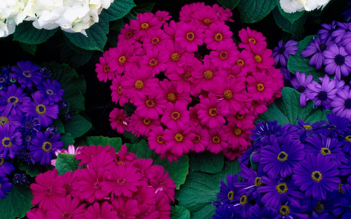 Download Wallpaper Hydrageas and Cinerarias - Colorful flowers