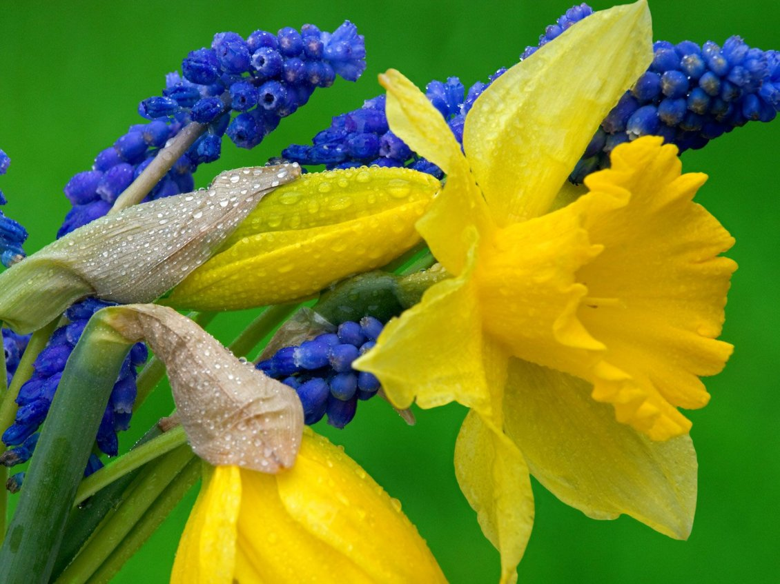 Daffodils And Hyacinth Yellow And Blue Flowers