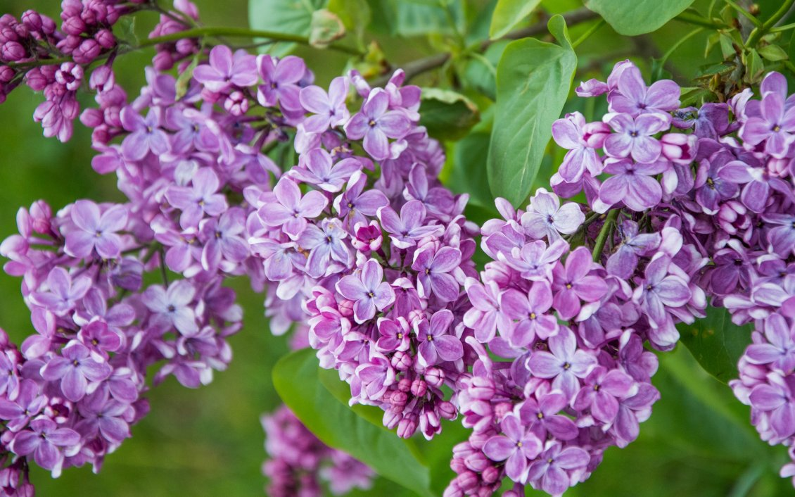 Download Wallpaper Branch with purple lilac flowers wallpaper