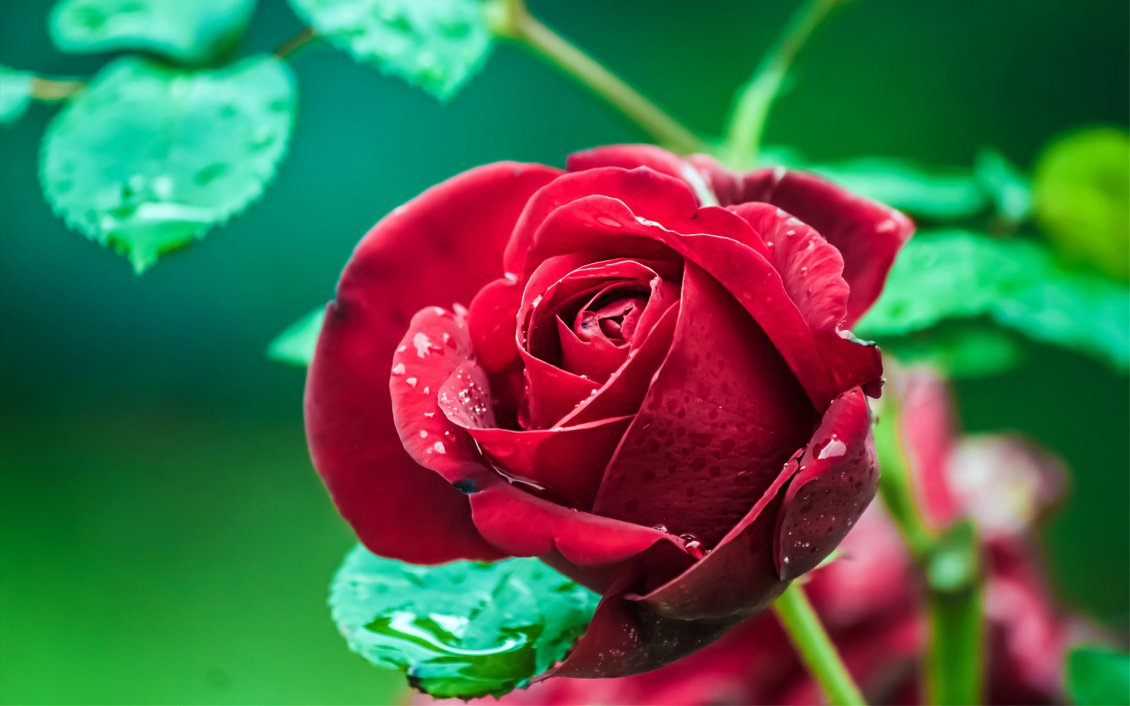 Beautiful red rose garden - Beautiful Red Rose With Raindrops In The Garden