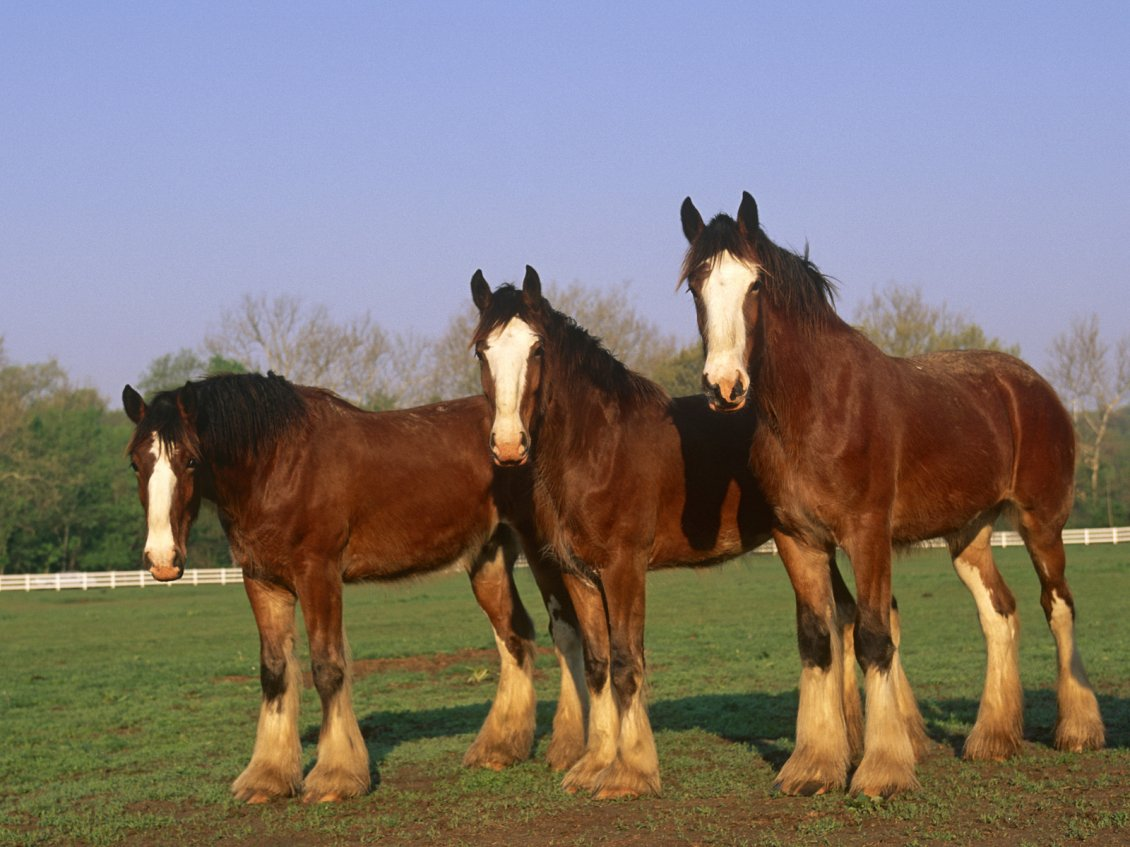 Download Wallpaper Three brown horses