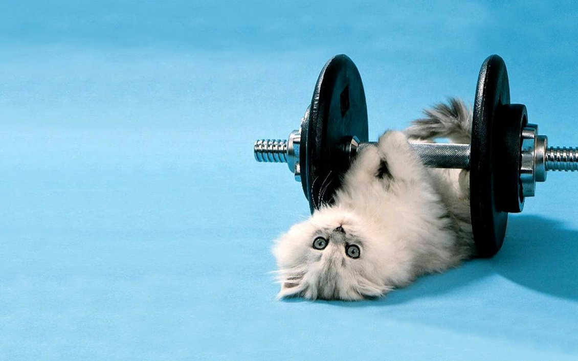 Download Wallpaper Cute white cat lifting weights  - Cat at gym