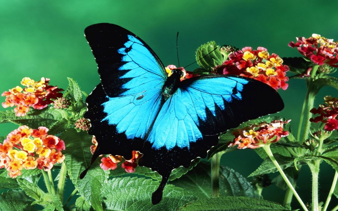 Download Wallpaper Big blue butterfly on the red flowers