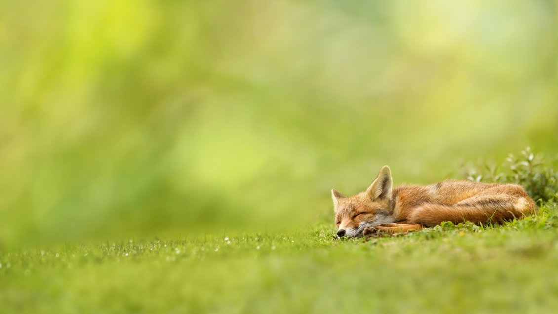Download Wallpaper Baby fox sleeping in grass