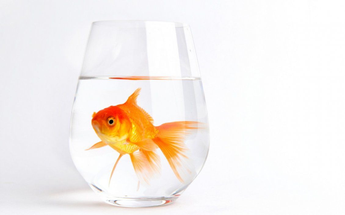Gold fish in a glass with water for Fish for gold
