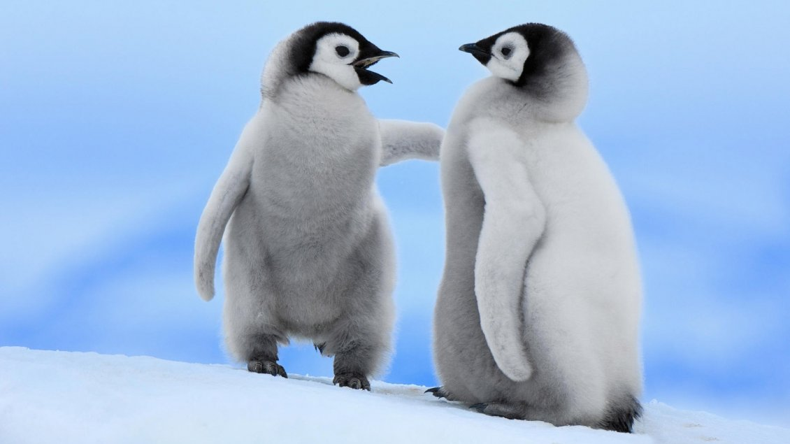 Two Cute Baby Penguins Talking