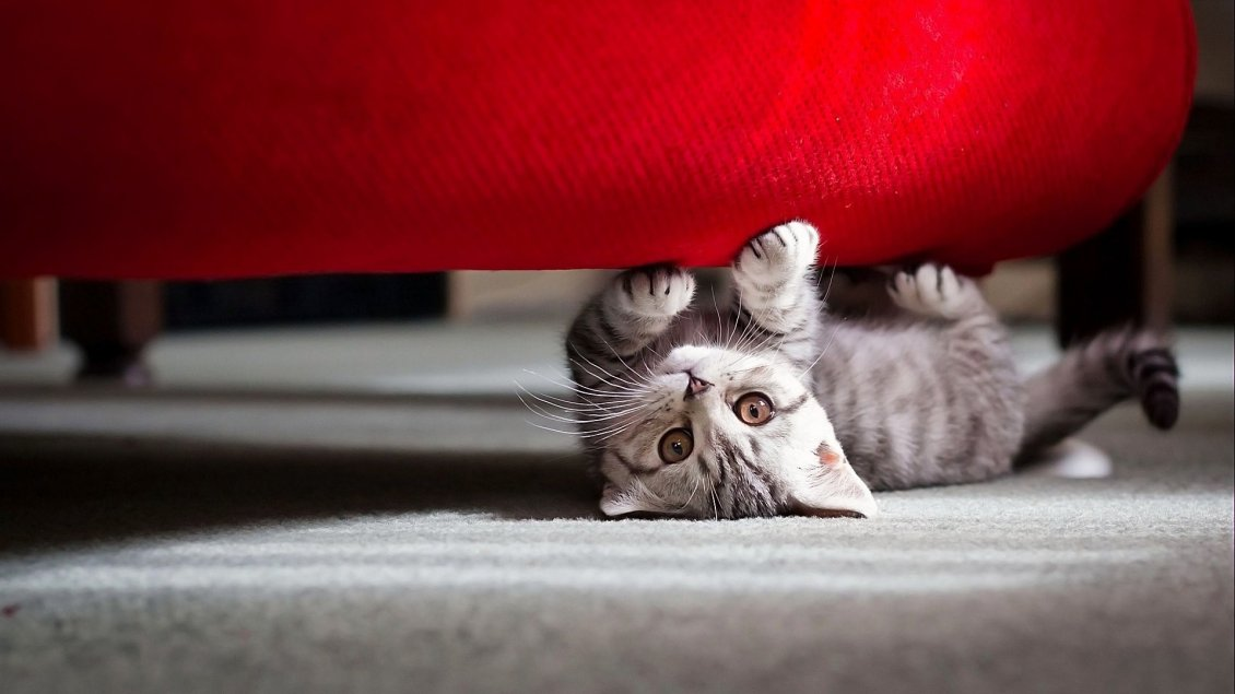Download Wallpaper Grey kitty under the red sofa - HD wallpaper