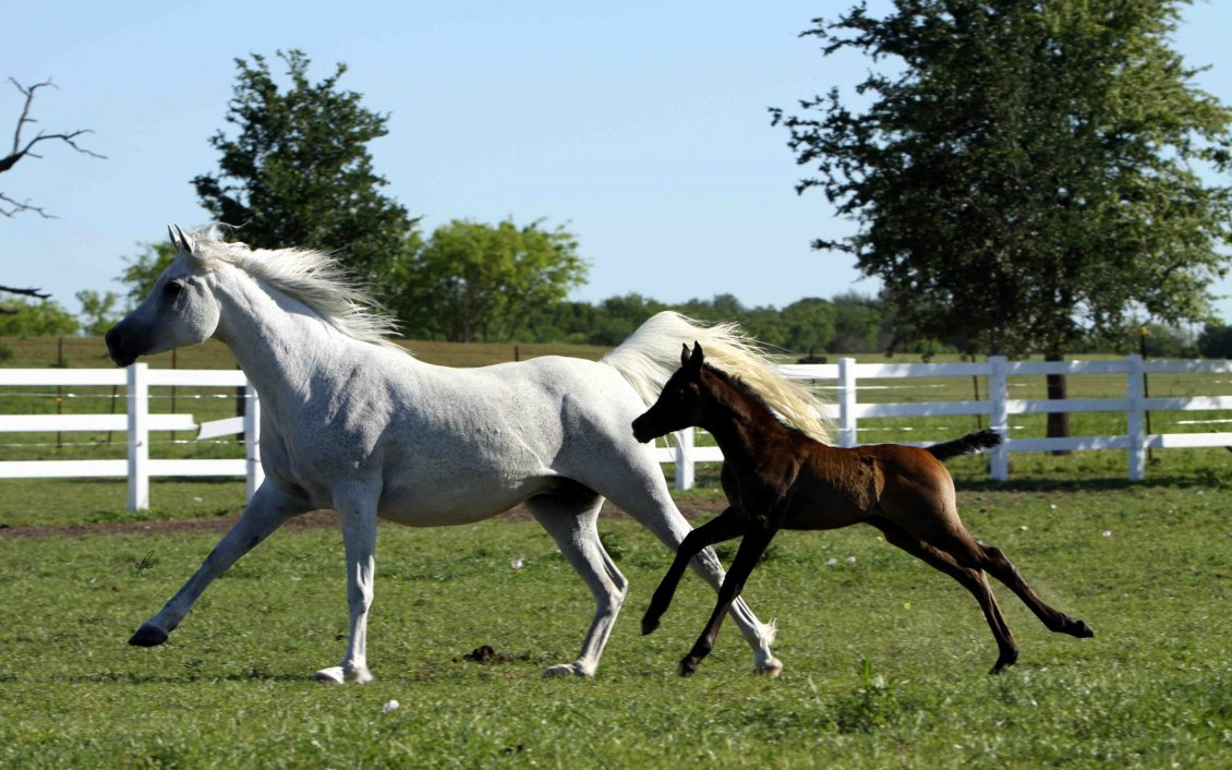 Download Wallpaper White horse running with brown foal