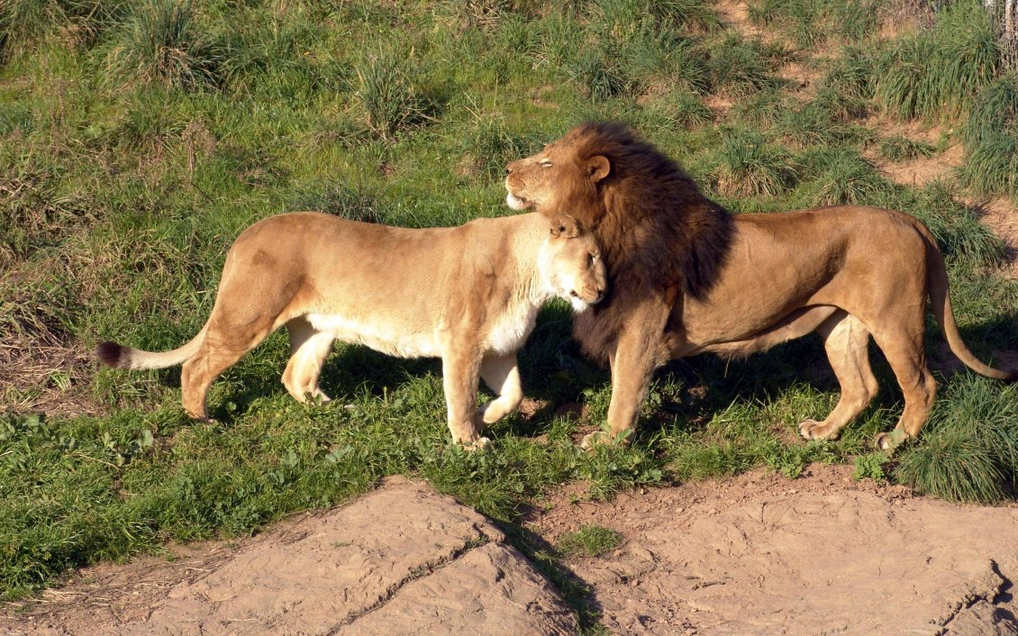 Download Wallpaper Lion and lioness are cocker -  Wild Animals