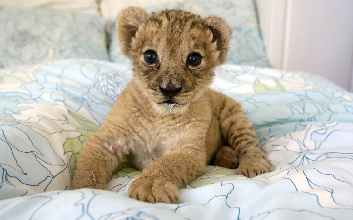 Download Wallpaper A sweet lion cub in a bed