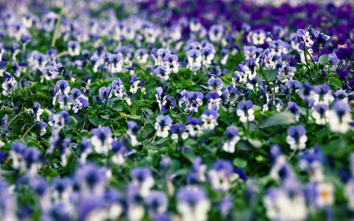 Download Wallpaper A field with white and purple pansies