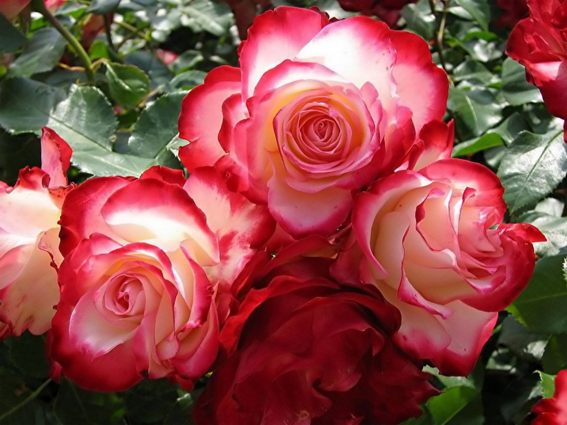 White Roses With Red Peaks Of Petals