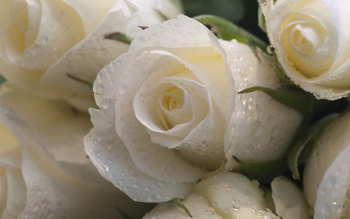 Download Wallpaper White roses with raindrops - Delicate flowers