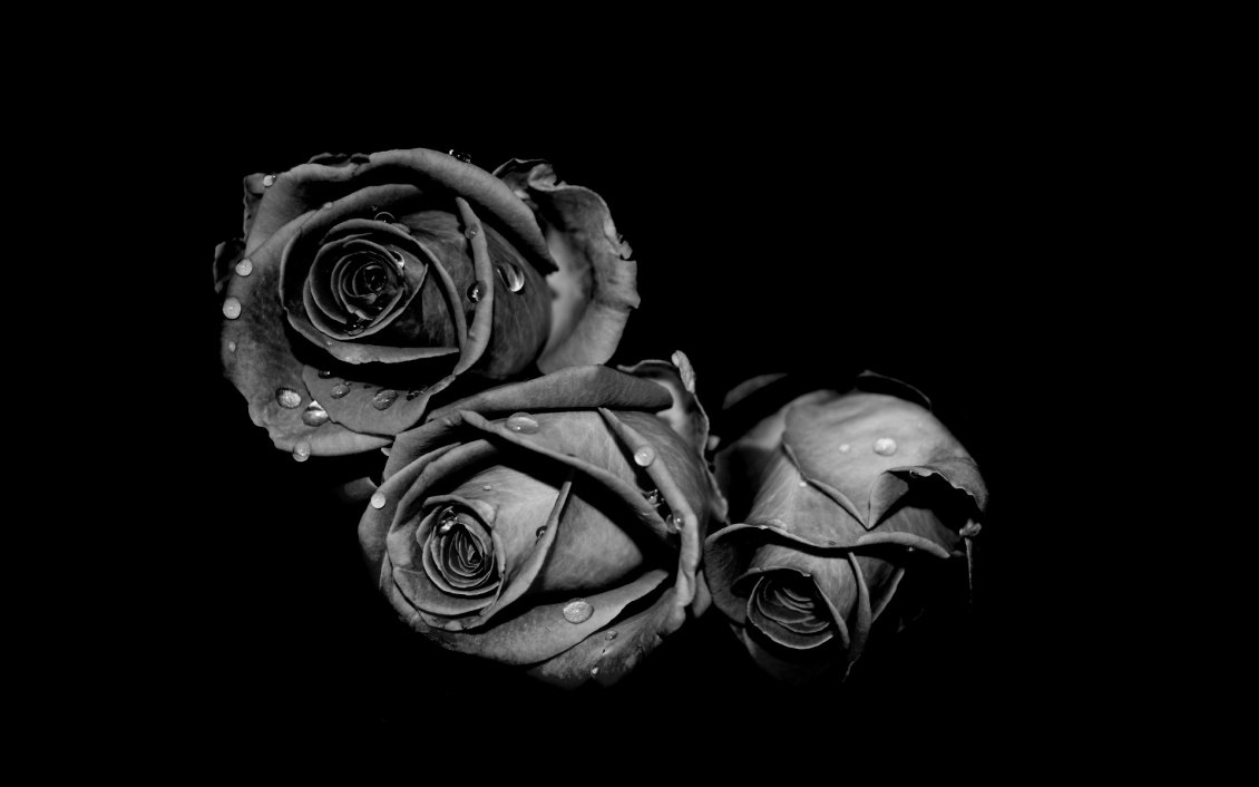Download Wallpaper Three gray roses with raindrops in the black background