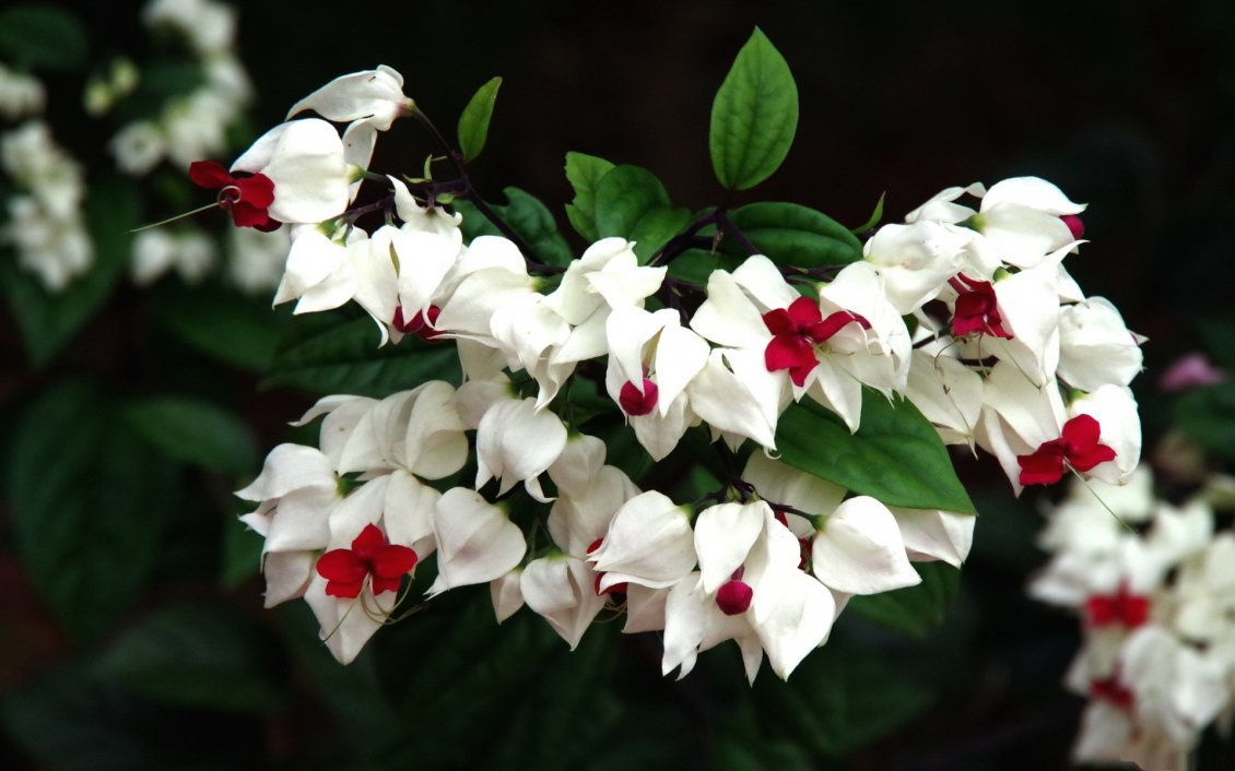Beautiful White And Red Flowers On The Branch