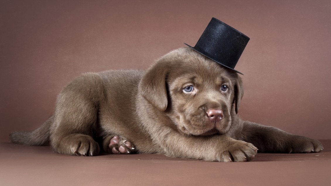 Download Wallpaper Brown dog with a black hat - Cute dog