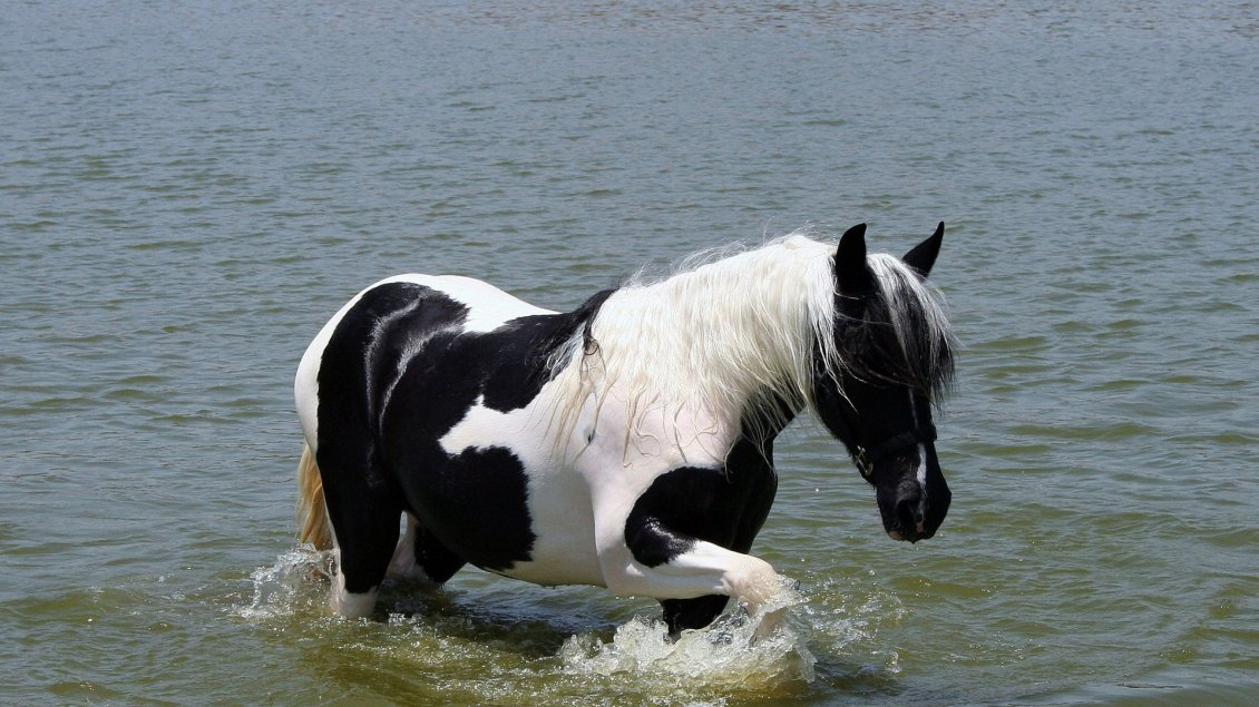 White And Black Horse Walking In The Water