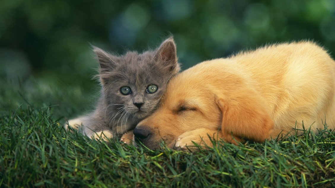 Download Wallpaper Gray kitten and a puppy on the grass - Love moment