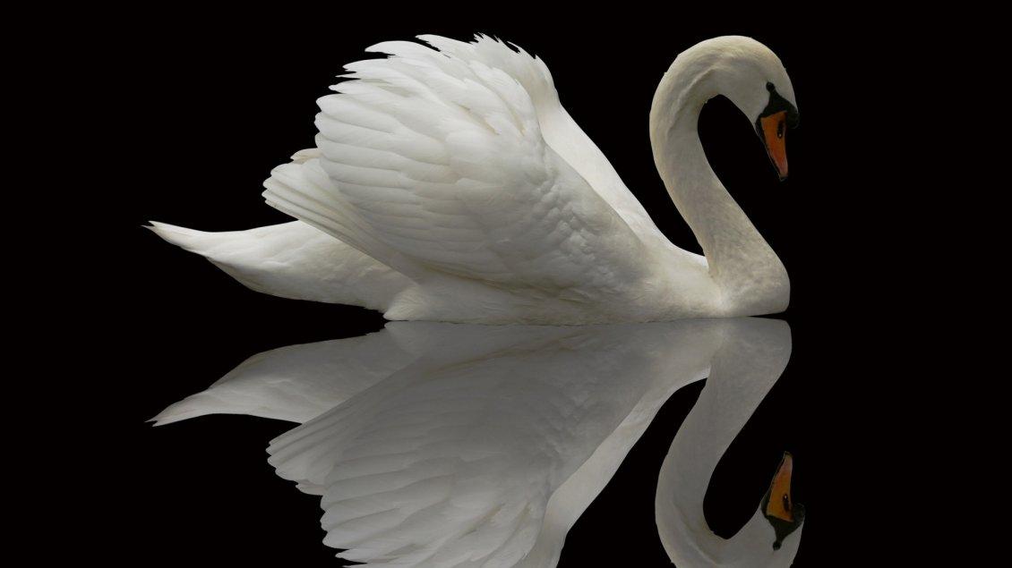 A beautiful swan in th...