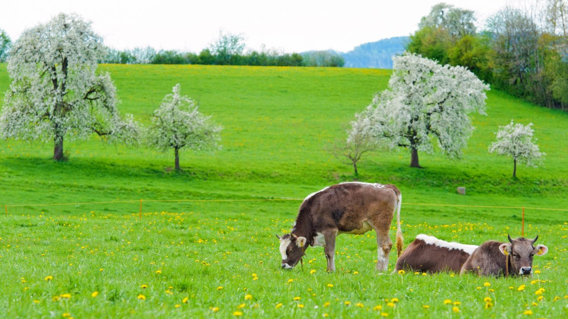Download Wallpaper Two cows on the green and blooming hill