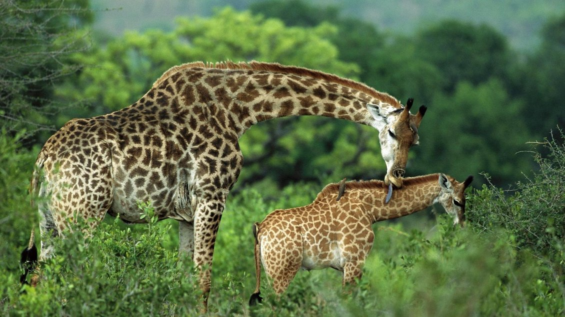 Download Wallpaper Giraffe mother cares for her baby