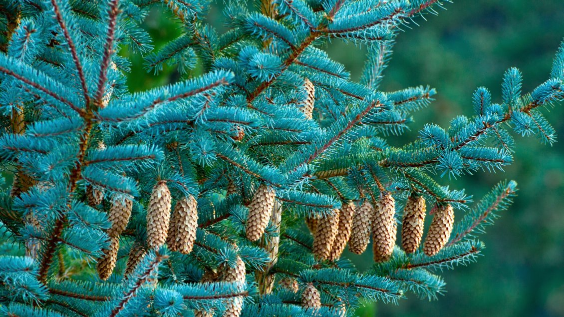 Download Wallpaper Many cones in a trees - Nature wallpaper