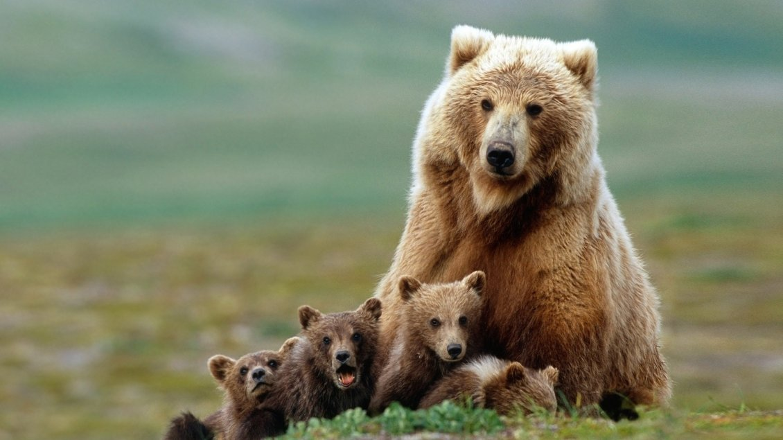 Download Wallpaper Brown bear mother with her cubs
