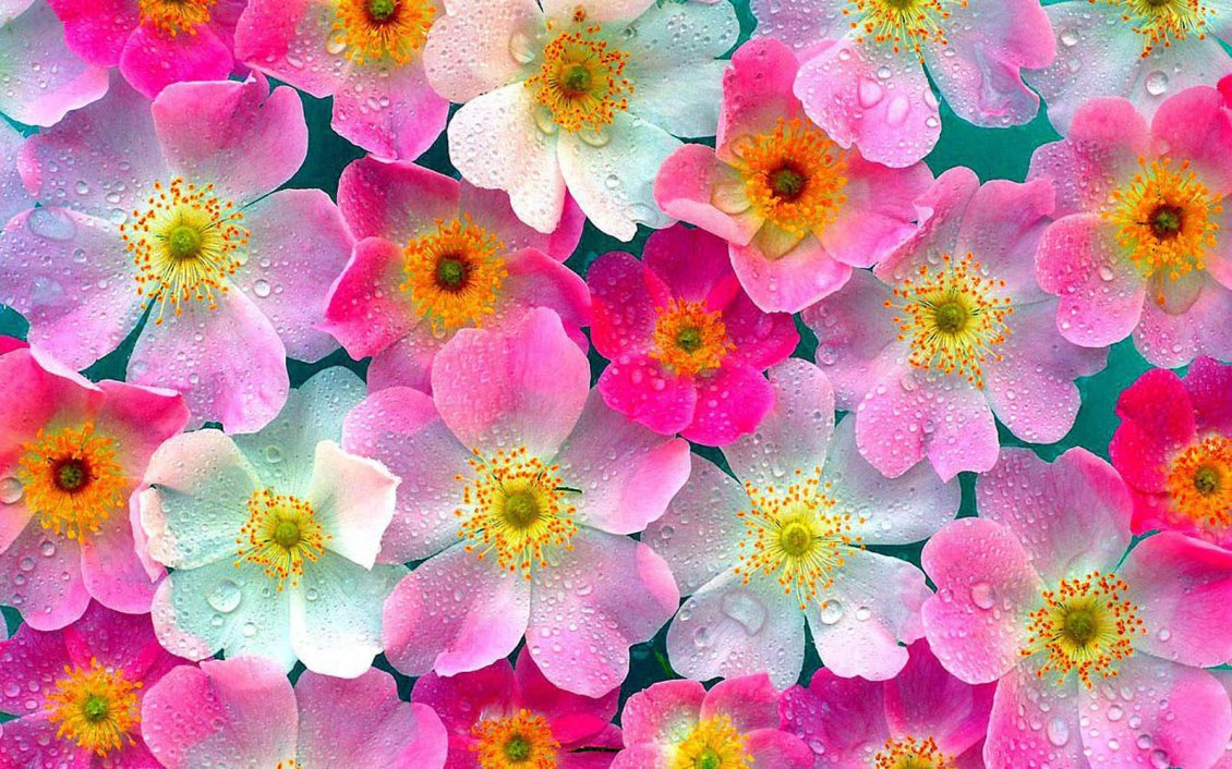 Download Wallpaper White and pink flowers with water drops
