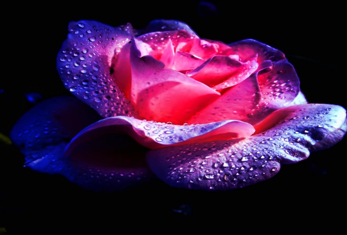 Purple and pink rose with water drops on a black background - Pink rose black background wallpaper ...