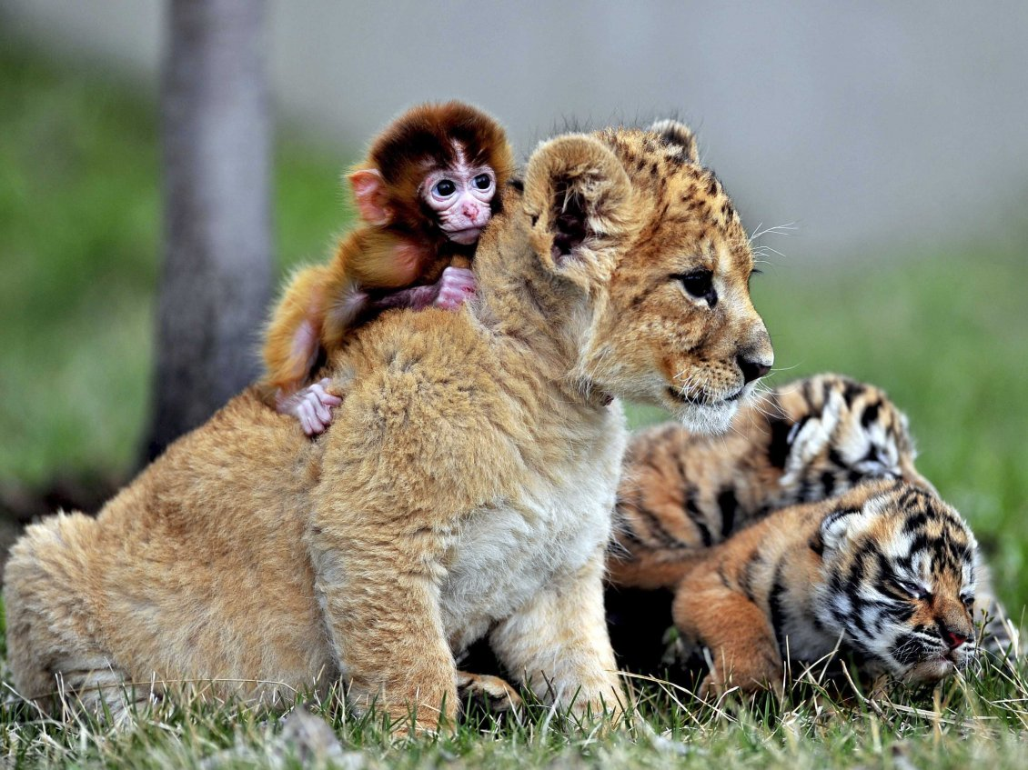 Download Wallpaper Leopard cub with a monkey on back