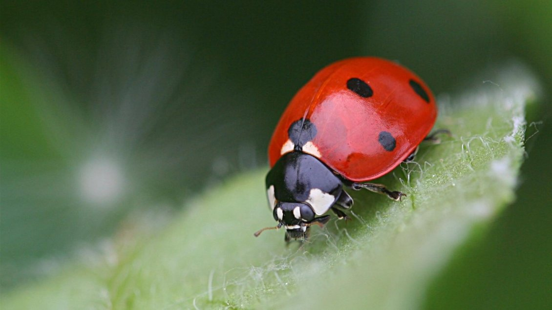 Red Lady Bird On The Leaf Insect Wallpaper