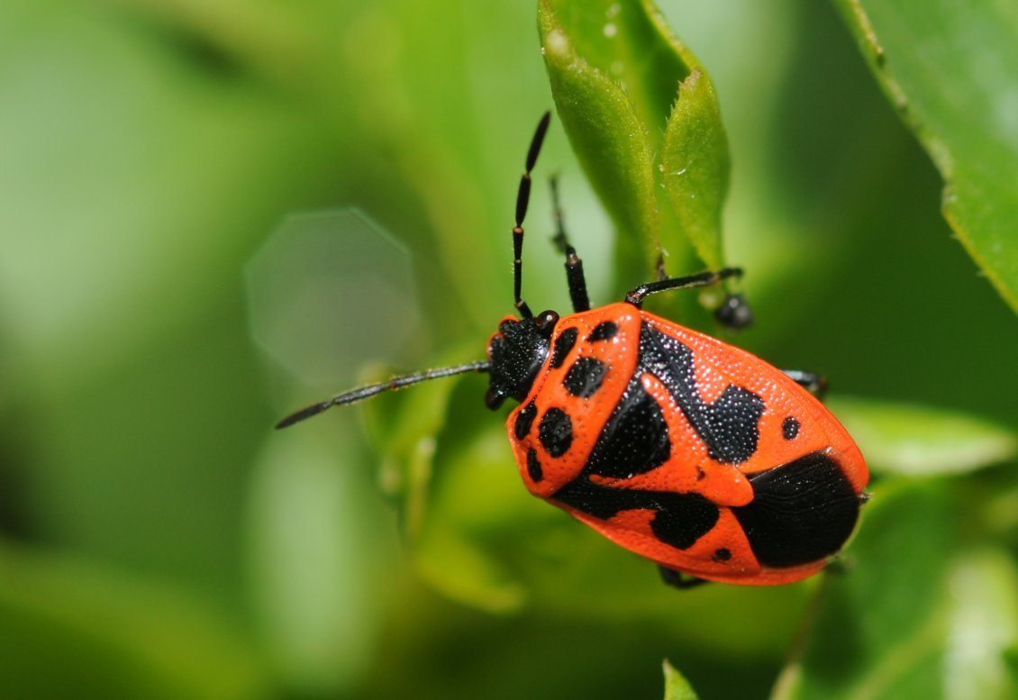 Download Wallpaper Orange insect with black dots on leaves