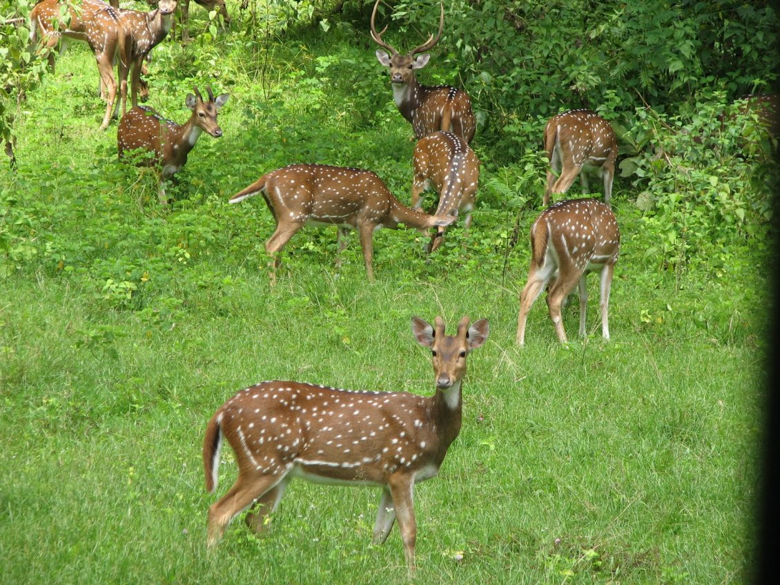 Download Wallpaper Many deers in the forest - Animals in the forest