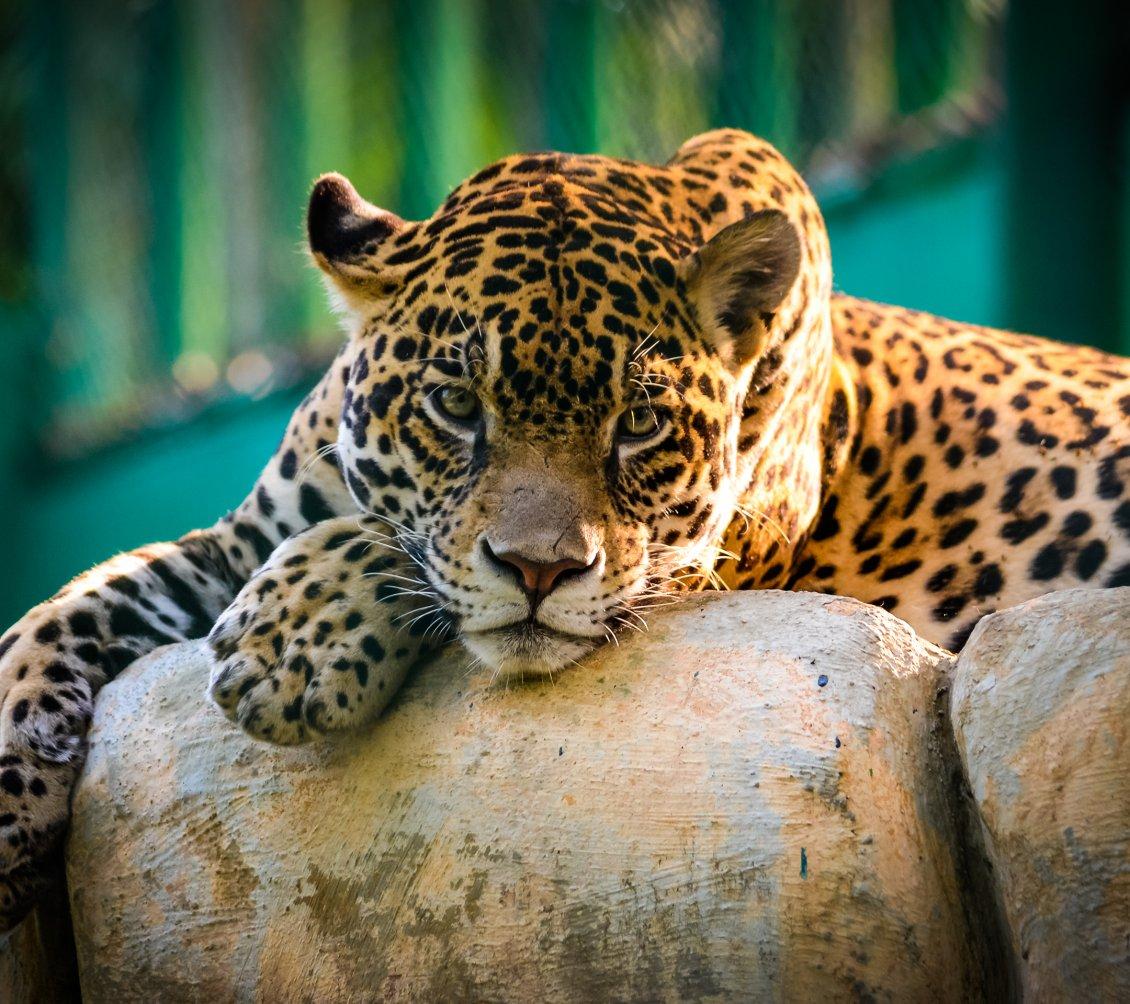 A Beautiful Jaguar Resting On The Stones