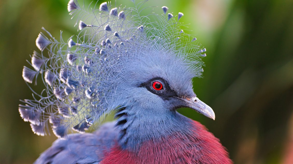 Download Wallpaper Gray and red crowned pigeons - Beautiful feathers