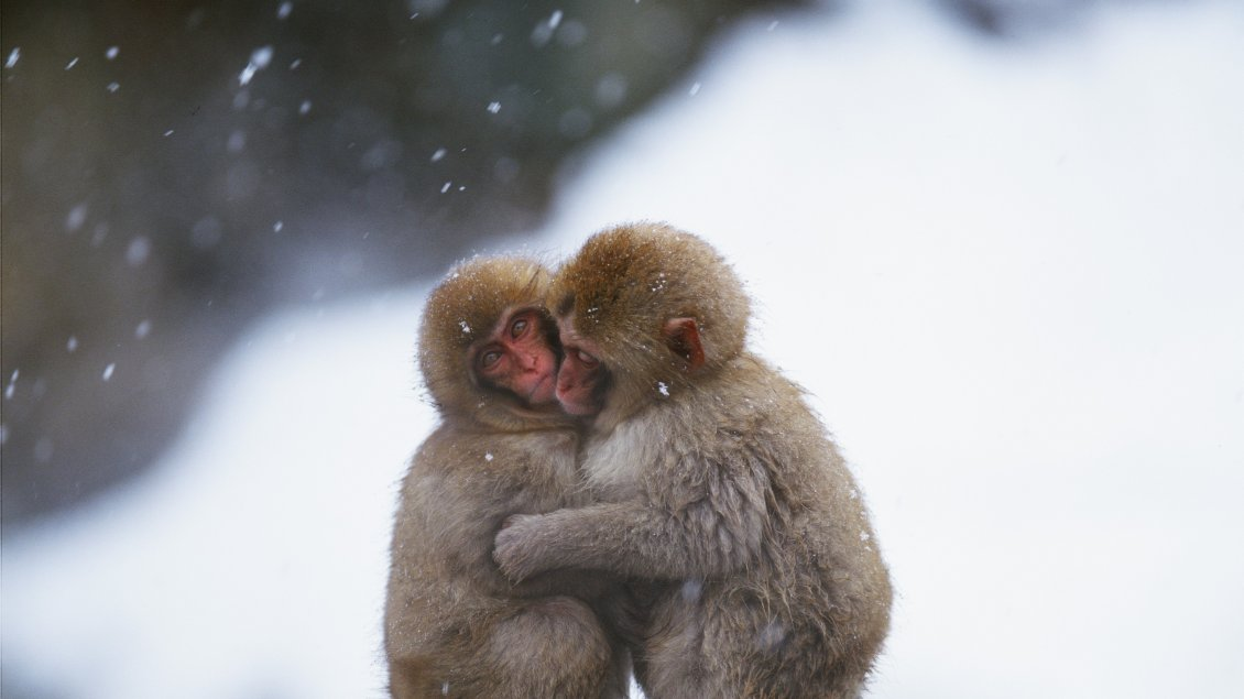 Download Wallpaper Embrace between two monkeys in a cold day