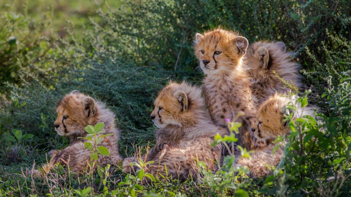 Download Wallpaper Many sweet cheetahs cubs - Wild Animals wallpaper