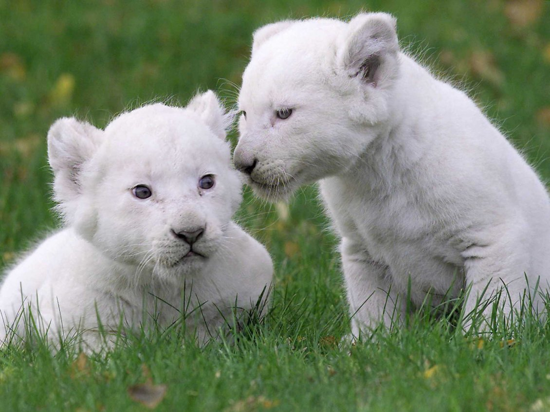 Download Wallpaper Two cute white lion cubs on the grass