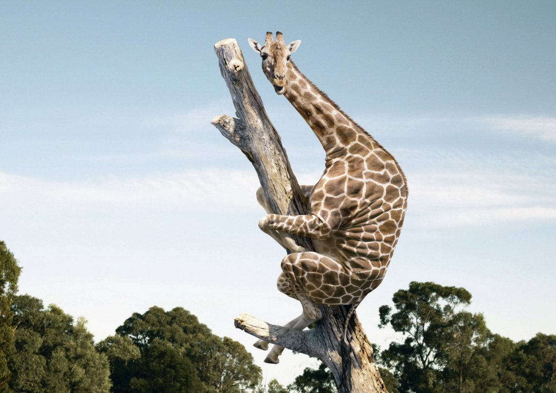 Download Wallpaper A giraffe is climbing on a tree trunk