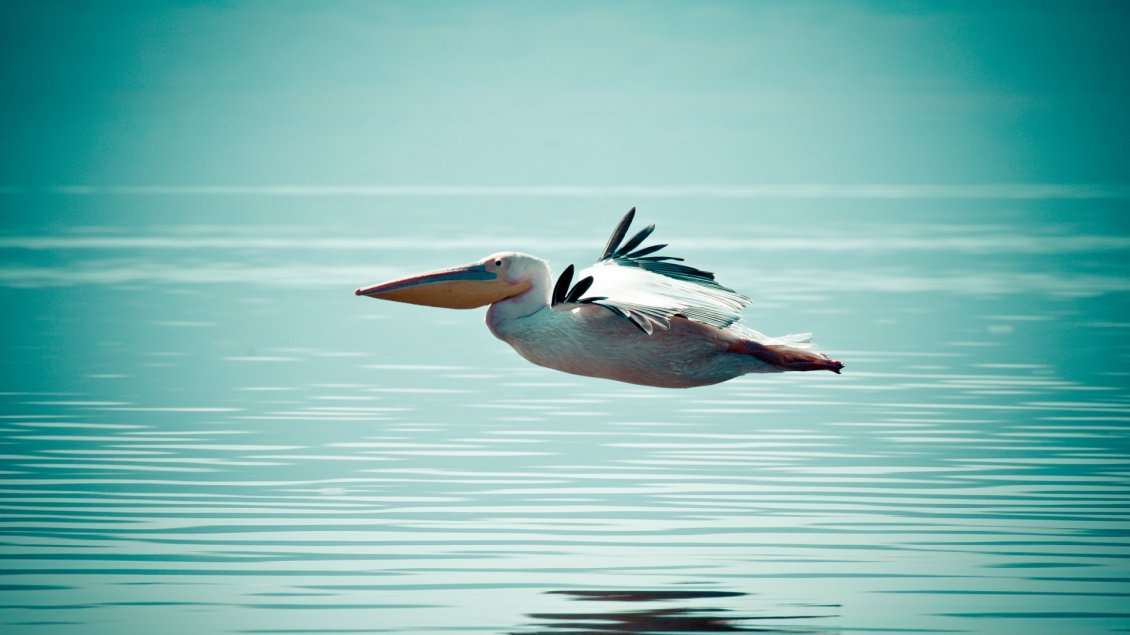 Download Wallpaper A beautiful pelican flying over the water sea