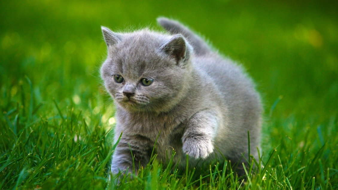 Download Wallpaper Gray little kitty in the green grass
