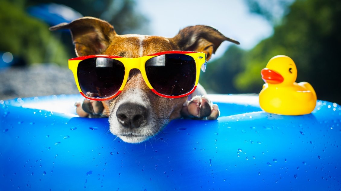 Download Wallpaper A dog with yellow and red glasses in a pool