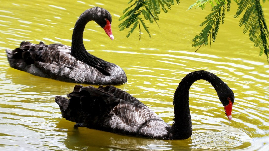 Download Wallpaper Two black swans on the lake water