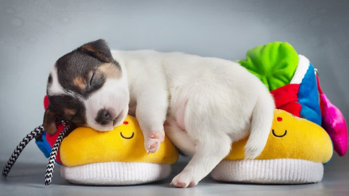 Download Wallpaper A sweet white puppy, sleeps on the colorful slippers