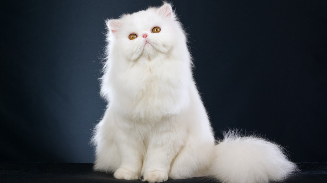 Download Wallpaper Sweet white cat - Fluffy animal wallpaper