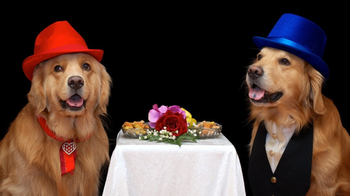 Download Wallpaper Funny brown dogs couple with hats