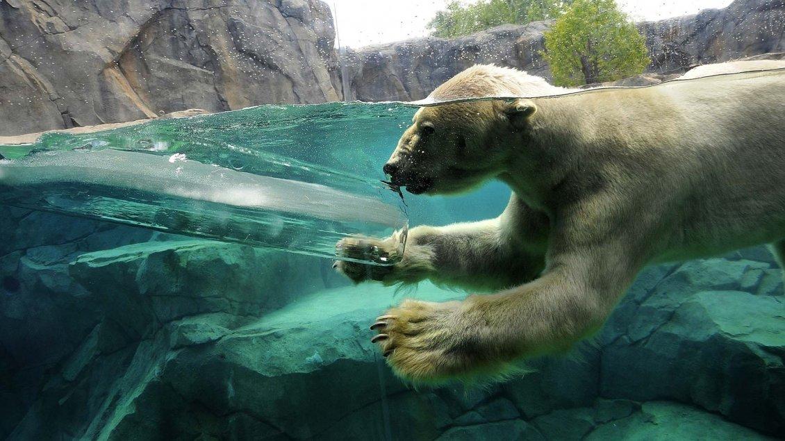 A Polar Bear Swimming In Water Between Rocks