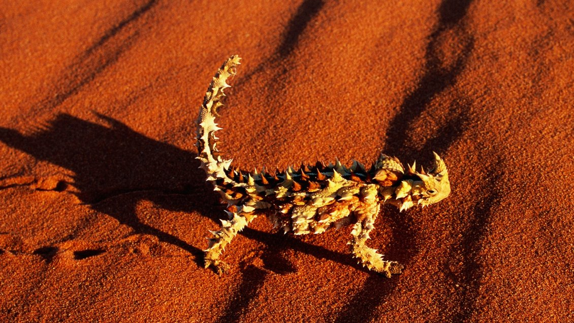 Download Wallpaper Devil Lizard on the orange sand - Animal wallpaper