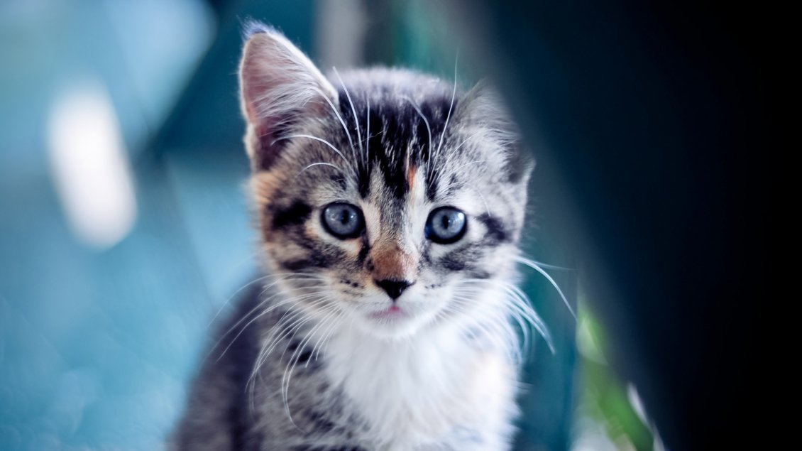 Download Wallpaper A sweet gray and white kitty with blue eyes